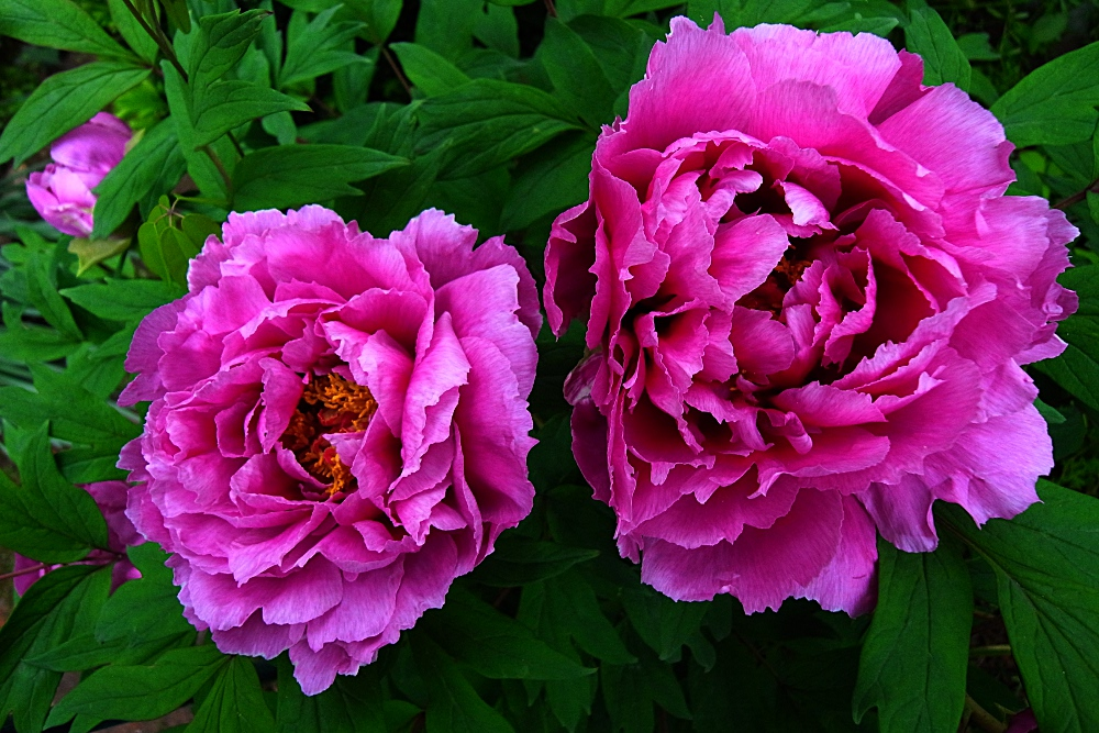あだ花か 牡丹咲き、そして散る...
